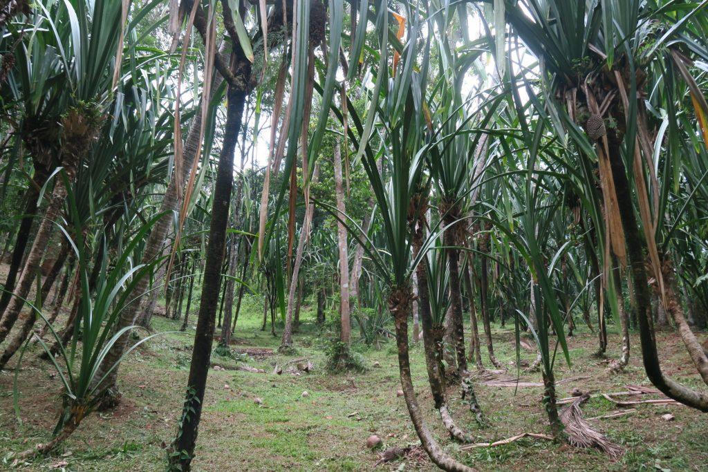 Pandan Trees