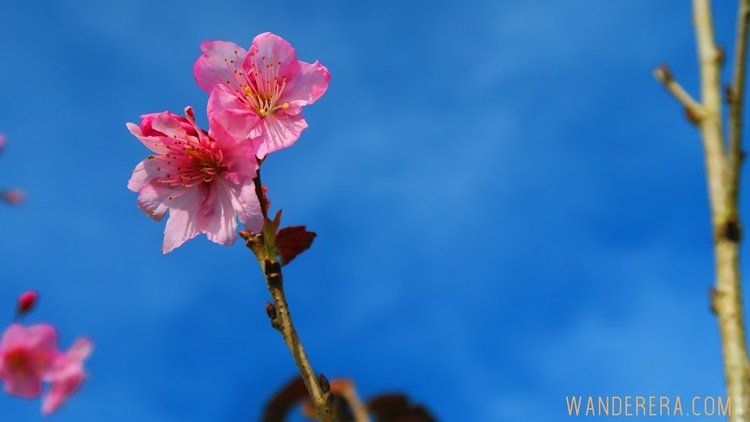 Check out the Sakura Flowers in Atok, Benguet