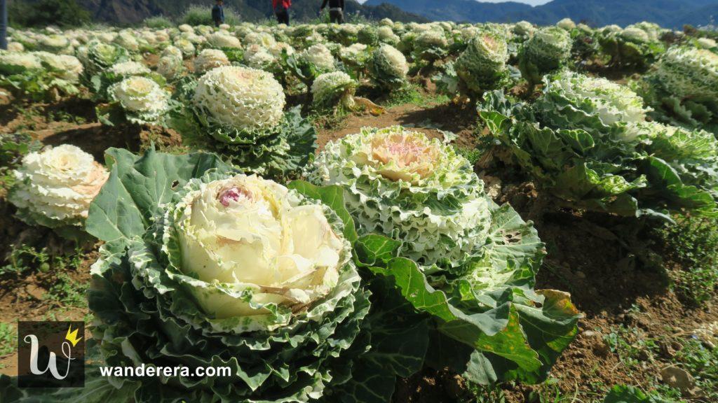 Northern Blossom flower farm in Atok