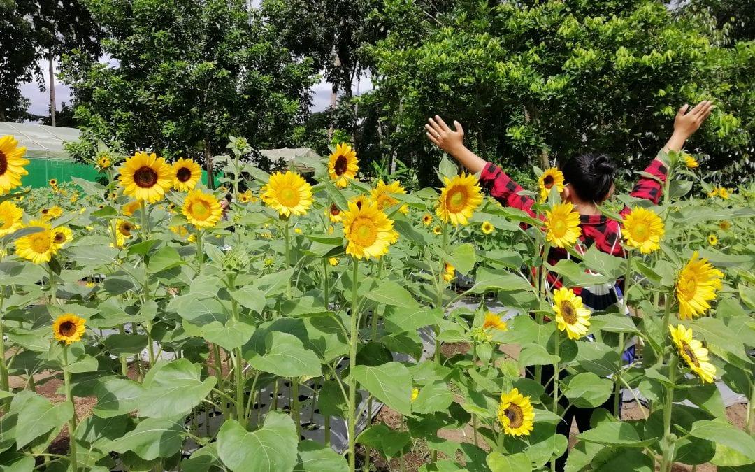 Sunshine Farm: A Sunflower Farm In Tiaong, Quezon