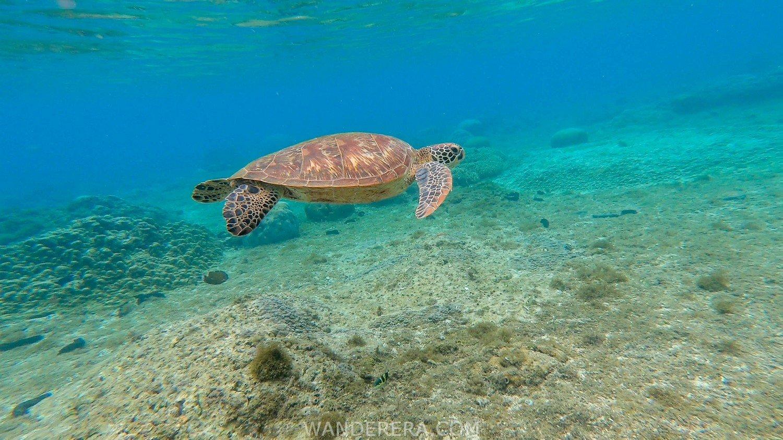 turtle in apo island